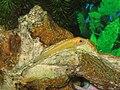 Golden Gyrinocheilus aymonieri - 20100122.jpg