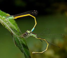 Golden dartlet mating pair at dandeli.jpg