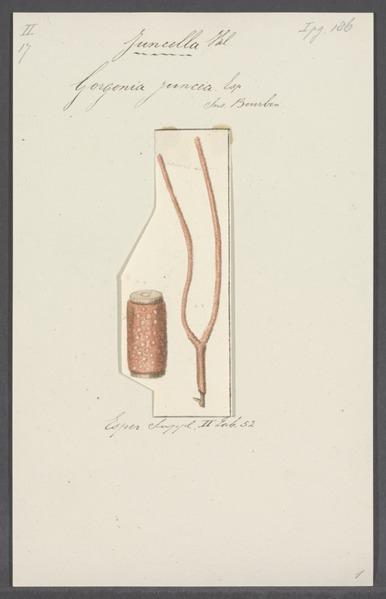 File:Gorgonia juncea - - Print - Iconographia Zoologica - Special Collections University of Amsterdam - UBAINV0274 109 02 0041.tif