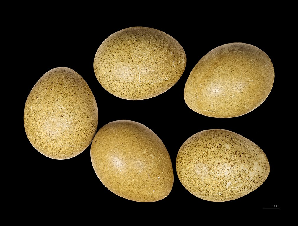 Tetrov hlucháň - vajíčka