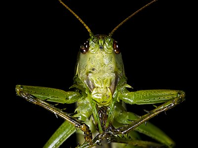 Great Green Bush Cricket - Portrait