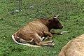 Grasende Kühe am Wegesrand im Seebachtal 20190820 012.jpg
