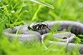 Grass Snake (Natrix natrix) (7159866207).jpg