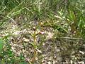 Grass Trigger-plant in bud (5066972521).jpg