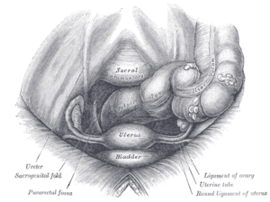 Female pelvis and its contents, seen from abov...