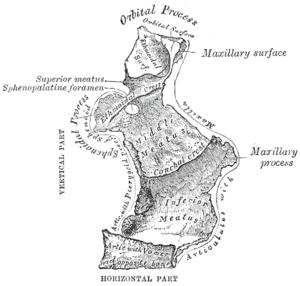 Horizontal plate of palatine bone - Left palatine bone. Nasal aspect. Enlarged.