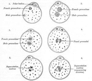 Pronucleus - The process of fertilization in the ovum of a mouse.
