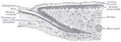 EponychiumEponychium