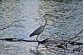 Gray Heron 2.jpg