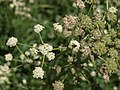 Great Basin angelica, Angelica kingii (39733130601).jpg