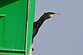 Great Cormorant (Phalacrocorax carbo) (16161574126).jpg
