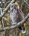 Great Horned Owl (44667854262).jpg