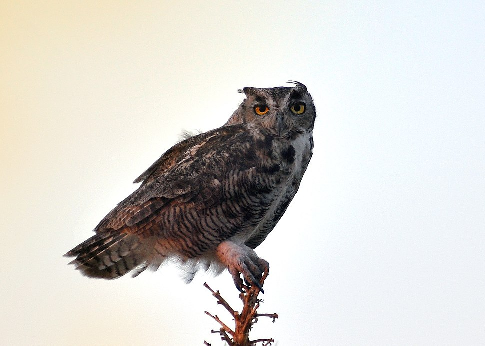 Great Horned Owl at twilight, Mojave Desert