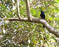 Greater Racket-tailed Drongo, Ganeshgudi, 25 FEB 2017, Vimal Rajyaguru.jpg