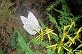 Green-veined white (NH Doly) (31720394150).jpg