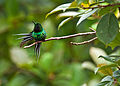Green Thorntail.jpg