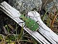 Green Tiger Beetle. Cicindela campestris (24247695577).jpg