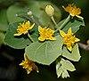 Grewia tiliaefolia flowers & leaves in Hyderabad W IMG 9422
