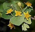 Grewia tiliaefolia flowers & leaves in Hyderabad W IMG 9422.jpg