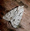 Grey Dagger. Acronicta psi - Flickr - gailhampshire.jpg