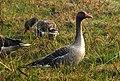 Greylag Goose Anser anser by Dr. Raju Kasambe DSCN7305 (1).jpg