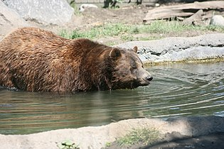 Grizzly In Water.jpg