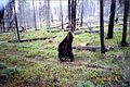 Grizzly bear rubbing on a tree (Northern Divide Grizzly Bear Project) (4428168686).jpg