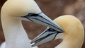 Grooming-Gannets.png