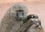 アヌビスヒヒの成体による子供ヒヒのグルーミング(ンゴロンゴロ保全地域)