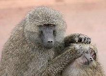 Due babbuini verdi intenti al grooming, riserva naturale di Ngorongoro (Tanzania)