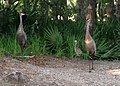 Grus canadensis (Sandhill Crane) 21.jpg