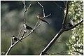 Guêpier d'Europe en compagnie d'étourneaux juvéniles (43440780521).jpg