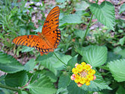 Gulf Fritillary Butterfly on a Lantana 18 crop.jpg