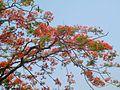 Gulmohar tree 22.jpg