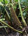Gunnera manicata (flowers).jpg