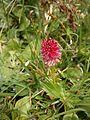 Gymnadenia rubra RHu 07.JPG
