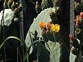 H20140525-2602—Opuntia ficus-indica (14099044729).jpg