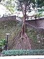 HK 灣仔 Wan Chai 皇后大道東 Queen's Road East Road 永樂里 Wing Lok Lane Saturday February 2019 SSG Chinese Banyan wall stone free root.jpg