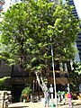 HK Mid-levels Bonham Road Hilary Court tree crown Jan-2016 DSC.JPG