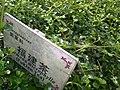 HK Sunday Wan Chai Park Carmona microphylla 福建茶 Fukien Tea 1.JPG