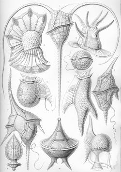 """Peridinea"" úr Artforms of Nature eftir Ernst Haeckel, 1904"