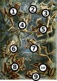 Haeckel frogs big spots.jpg