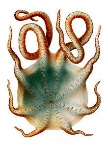 Message de la Pieuvre dans PIEUVRE 220px-Haliphron_atlanticus
