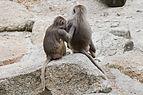 Hamadríade (Papio hamadryas), Tierpark Hellabrunn, Múnich, Alemania, 2012-06-17, DD 16.JPG