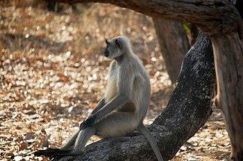 Hanuman langur @ Bandhavgarh National Park 02.jpg