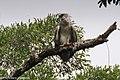 Harpy Eagle immature - Darién - Panama (48439752817).jpg