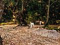 Hausschafe im Wald nahe Novalja (Kroatien) (4).jpg