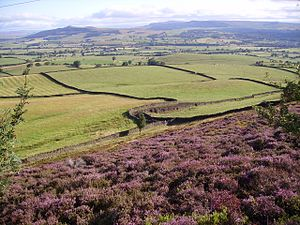 Hardiness (plants) - Heather, Calluna vulgaris, one of Britain's hardiest plants (North York Moors)