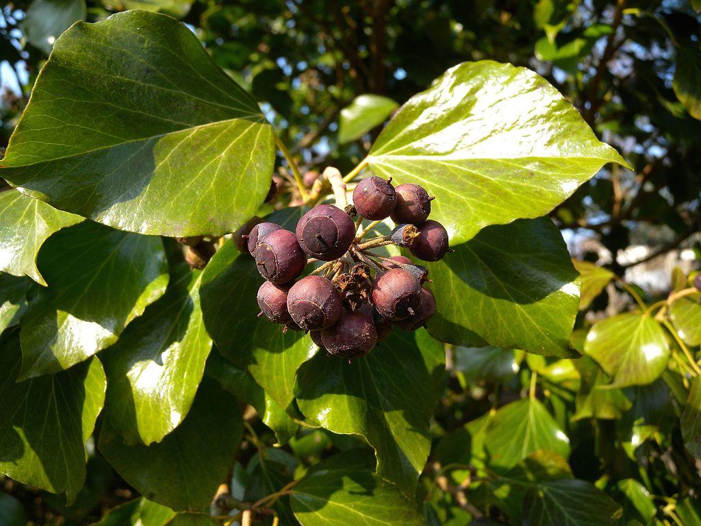 Brečtan popínavý - plody