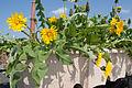 Heimgruen Bio Balkonkasten mit Löwenzahn.jpg